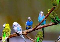 Muhabbet Kuşları Genel Bilgiler (Bakımı - Eğitimi)