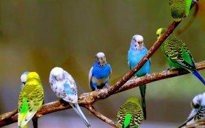 Muhabbet Kuşları Genel Bilgiler (Bakımı – Eğitimi)
